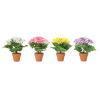 This item: Multicolor Cosmos Bush Potted, Set of 4