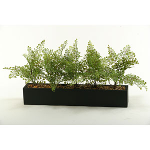 Flat Iron Fern in Long Rectangle Planter