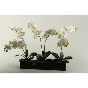 Cream Phael Orchids in Black Wooden Rectangle Planter