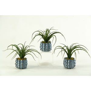 Spider Tillandsia in Ceramic Planter, Set of Three
