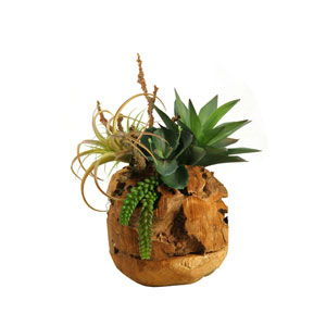 Air Tilandsia, Agave Plant and Wild Succulent in Wooden Root Ball
