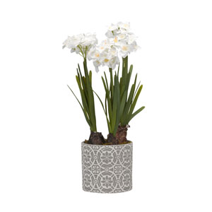 Paperwhite Bulbs in Round Cement Planter