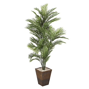 6 Ft. Robellini Palm in Square Basket