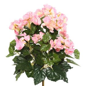 Light Pink Begonia Bush