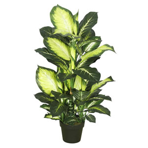 40 In. Dieffenbachia with Pot