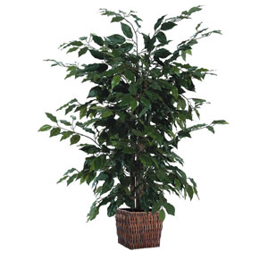 Dark Green 4 Foot Ficus in Square Willow Container