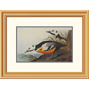 Western Duck By John James Audubon, 20 X 26-Inch Wall Art