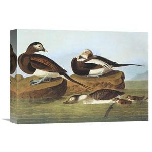 Long Tailed Duck By John James Audubon, 16 X 11-Inch Wall Art