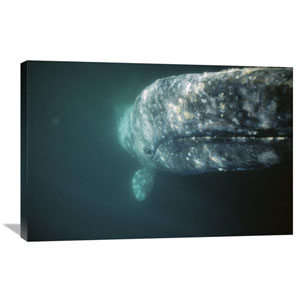 Gray Whale Curious Adult Investigating Underside Of Boat, Baja, Mexico By Tui De Roy, 24 X 36-Inch Wall Art