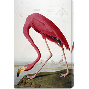 American Flamingo by John James Audubon: 19.7 x 30 Canvas Giclees, Wall Art