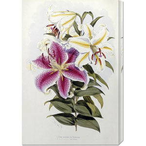 A Monograph of The Genus Lilium by Henry John Elwes: 20 x 30 Canvas Giclees, Wall Art