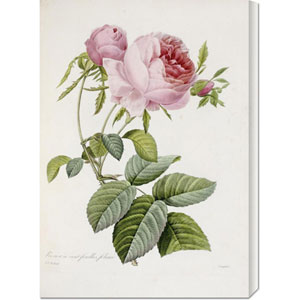 Rose by Pierre Joseph Redoute: 21.1 x 30 Canvas Giclees, Wall Art