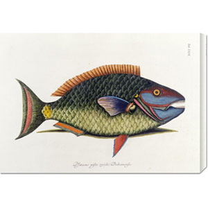 The Parrot Fish by Mark Catesby: 30 x 21.03 Canvas Giclees, Wall Art