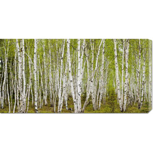 White Birch Grove with Spring Foliage by Don Johnston: 36 x 18 Canvas Giclees, Wall Art
