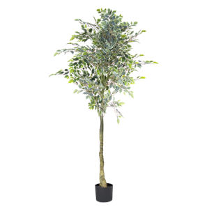 Green and White Varigated Ficus Tree Potted