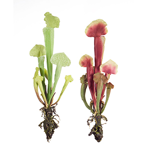 Green and Red Cobra Lily Plant, Set of 12