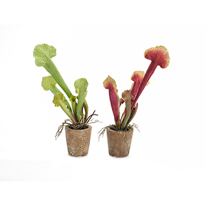 Green and Red Potted Cobra Lily, Set of 6