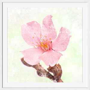 Grace Pink Blossom 40 x 40 In. Wall Art