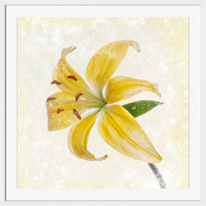 Grace Yellow Lily 27 x 27 In. Wall Art