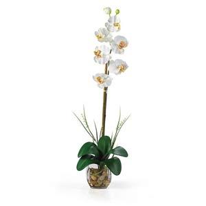 Single Phalaenopsis Liquid Illusion