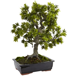 Green Giant Podocarpus with Mossed Bonsai Planter