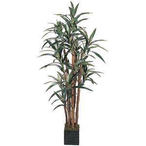 Yucca Silk Tree - 5 Feet