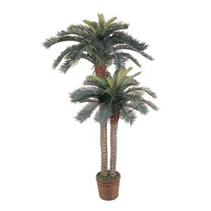 Sago Palm Tree Double Potted - 6 Ft. 4 In.