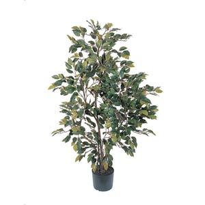 Ficus Silk Tree 4 ft
