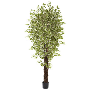Green 7.5 Foot Variegated Mini Ficus