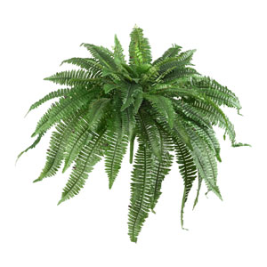48 In. Boston Fern, Set of Two