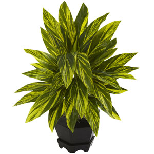 Green Ginger Plant with Black Planter