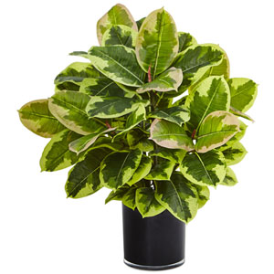 Rubber Plant in Glossy Cylinder (Real Touch
