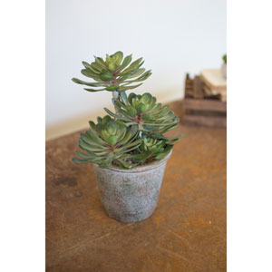 Large Zwartkop Succulent in a Pot, Set of Two