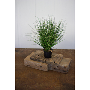 14.5-Inch Grass With Plastic Pot
