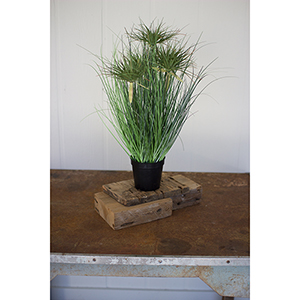 24-Inch Grass With Five Heads With Plastic Pot