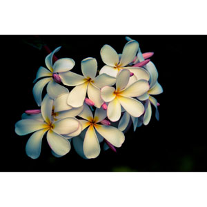 Plumerias Hawaii by Kelly Wade, 30 x 40 In. Canvas Art