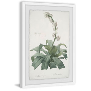 Aletris Fragrans 36 x 24 In. Framed Painting Print