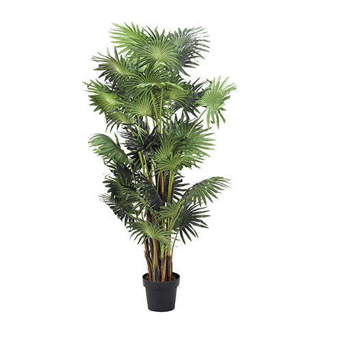 5 Ft. Fan Palm Tree