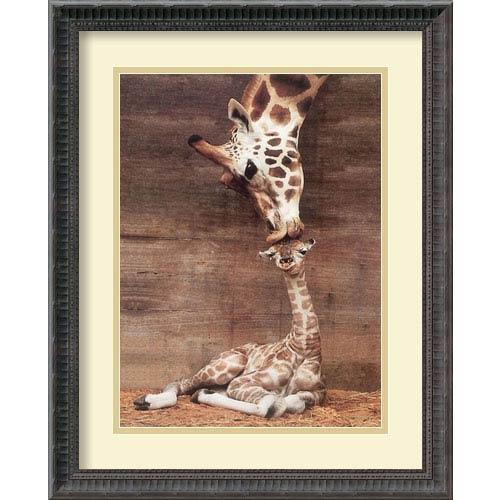 Amanti Art Makulu - Giraffe First Kiss by Ron DRaine: 18.18 x 22.18 Print Reproduction
