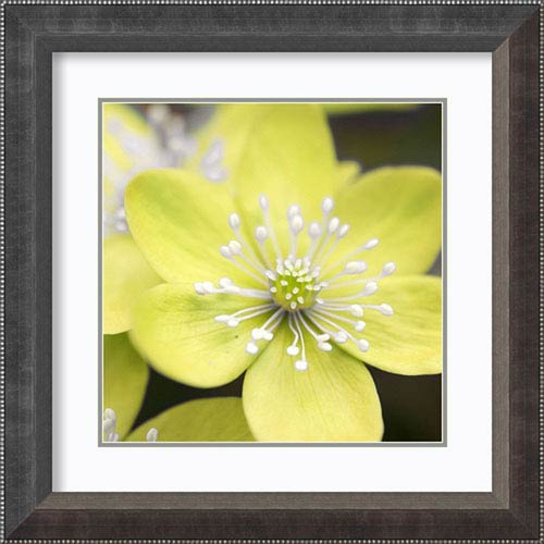 Amanti Art Yellow Blossom by PhotoINC Studio, 25 In. x 25 In. Framed Art