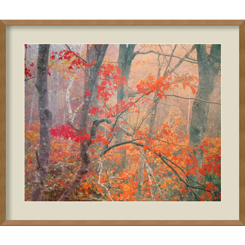 Amanti Art Maple Trees in Fog Near Eagle Lake, Acadia National Park, Maine, 1990 by William Neill: 28 x 33 Print Reproduction