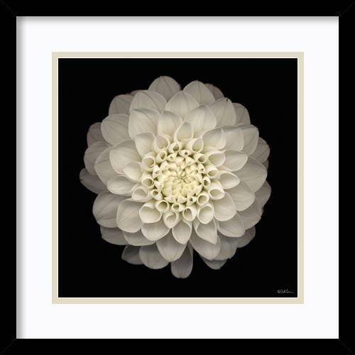 Amanti Art Dahlia 22 by Neil Seth Levine: 17 x 17 Print Reproduction
