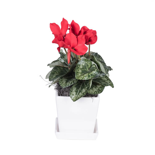 Red Cyclamen in Planter