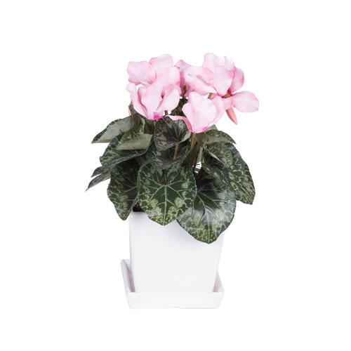Light Pink Cyclamen in Planter
