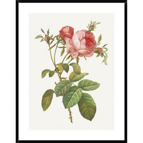 Global Gallery Rosa Centrifolia Foliacea By Pierre Redoute, 38 X 30-Inch Wall Art