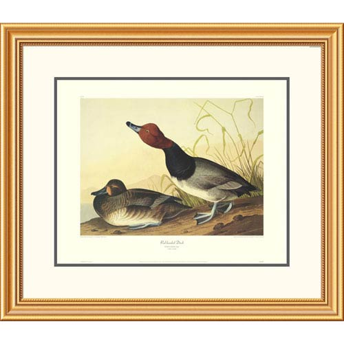 Global Gallery Red Headed Duck By John James Audubon, 26 X 30-Inch Wall Art With Decorative Border