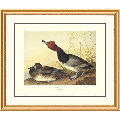 Global Gallery Red Headed Duck By John James Audubon, 34 X 40-Inch Wall Art With Decorative Border