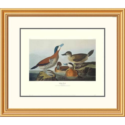 Global Gallery Ruddy Duck By John James Audubon, 26 X 30-Inch Wall Art With Decorative Border