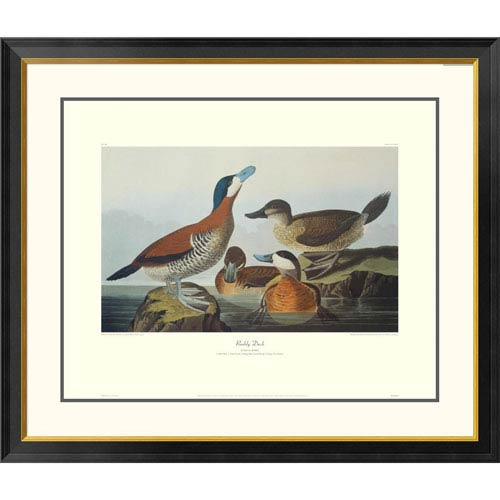 Global Gallery Ruddy Duck By John James Audubon, 34 X 40-Inch Wall Art With Decorative Border