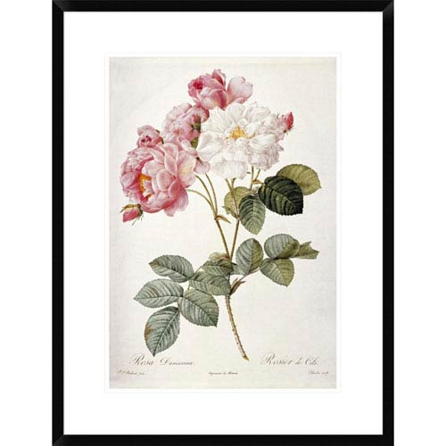 Global Gallery Damask Rose By Pierre Joseph Redoute, 28 X 21-Inch Wall Art